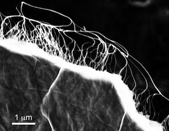 A scanning electron microscope image shows freestanding graphene film with carbon nanotubes attached. The material is part of a project to create lightweight films containing super capacitors that charge quickly and store energy. Courtesy of Nunzio Motta/Queensland University of Technology