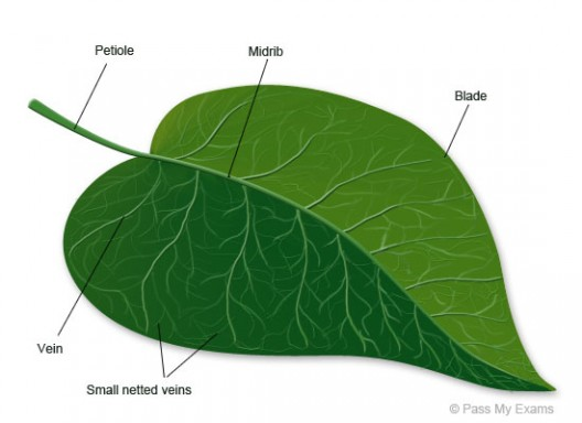 Leaf structure as depicted on PassMyExams web site